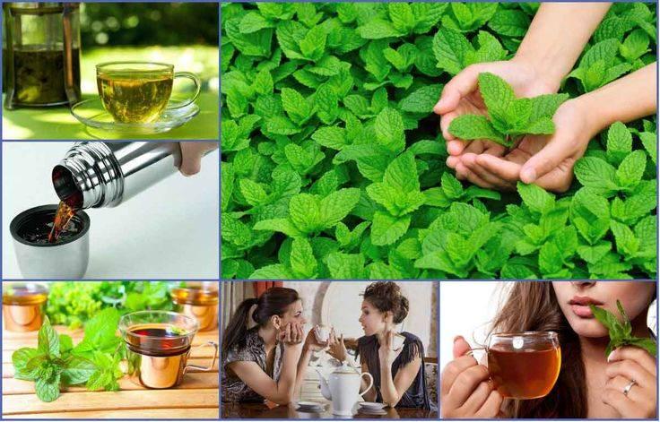 Мята перечная — польза и вред, чай с мятой
