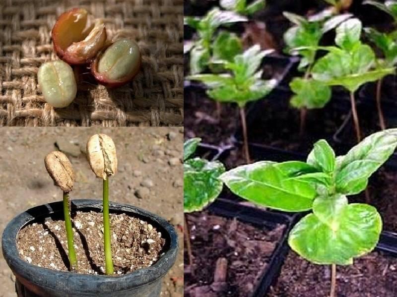 Как вырастить кофе в россиии: особенности агротехники кофейных деревьев, растущих в теплице