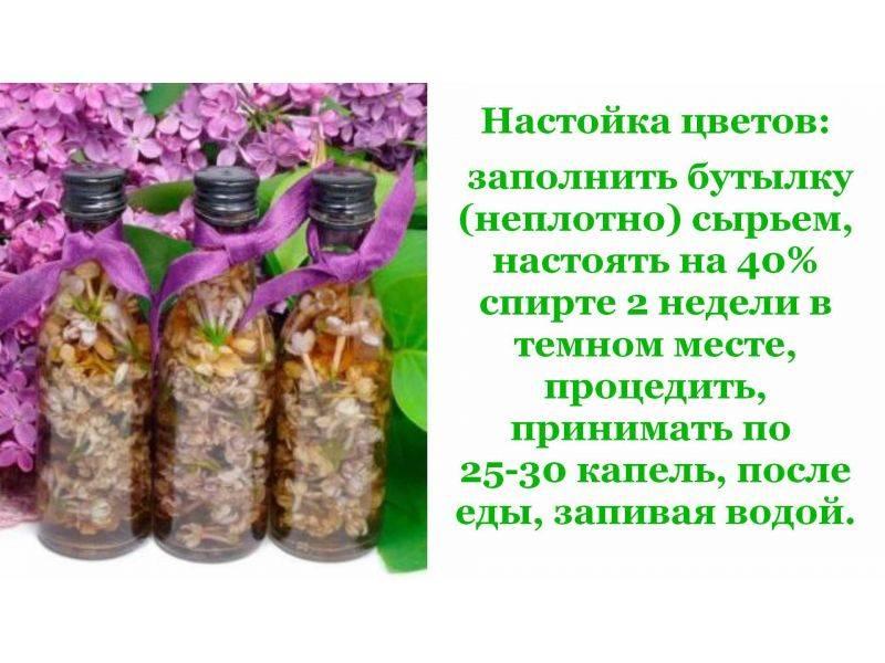 Сирень лечебные свойства применение и противопоказания