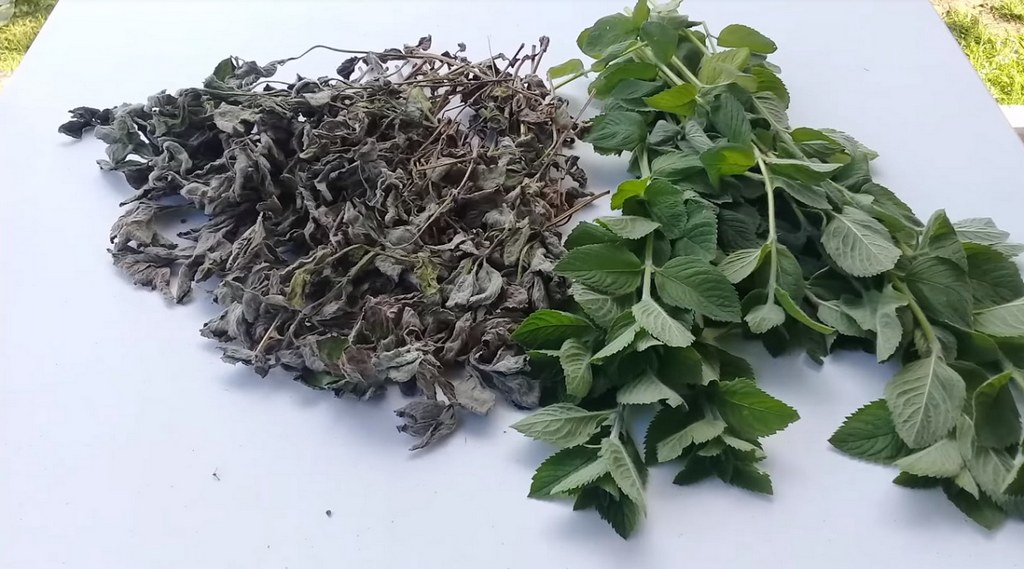 Как правильно сушить мяту для чая в домашних условиях: рекомендации