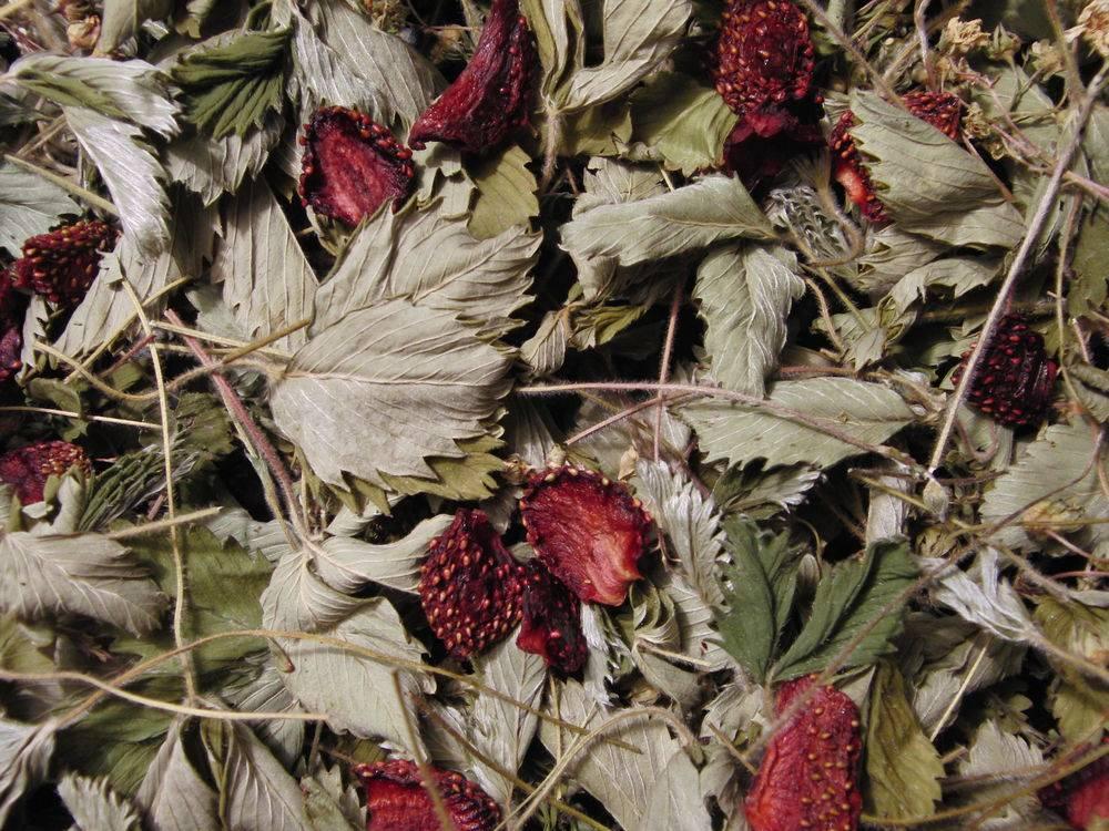 Земляника: польза и вред для здоровья, лечебные свойства листьев