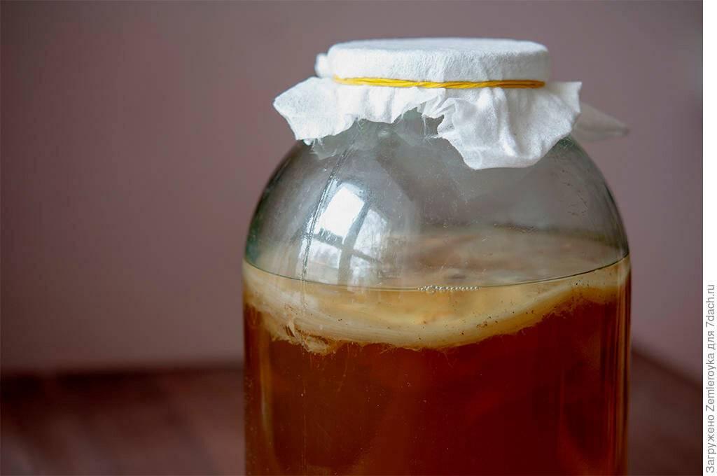 Как вырастить чайный гриб вдомашних условиях: специфика ухода, размножения ихранения медузомицета | информационный портал о здоровье