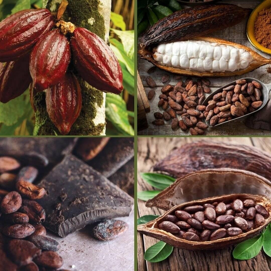 Польза и вред какао бобов для здоровья – хорошие привычки