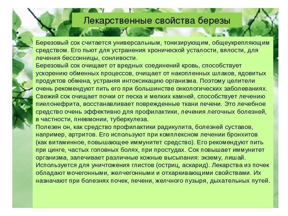 Березовые листья – рецепты и способы применения