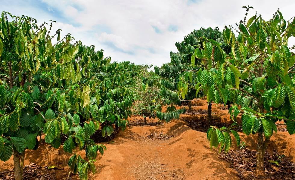 Какао-дерево: описание и выращивание