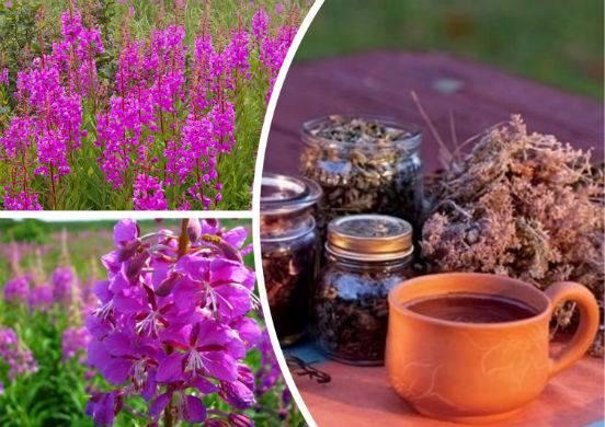 Копорский чай — польза и вред | польза и вред