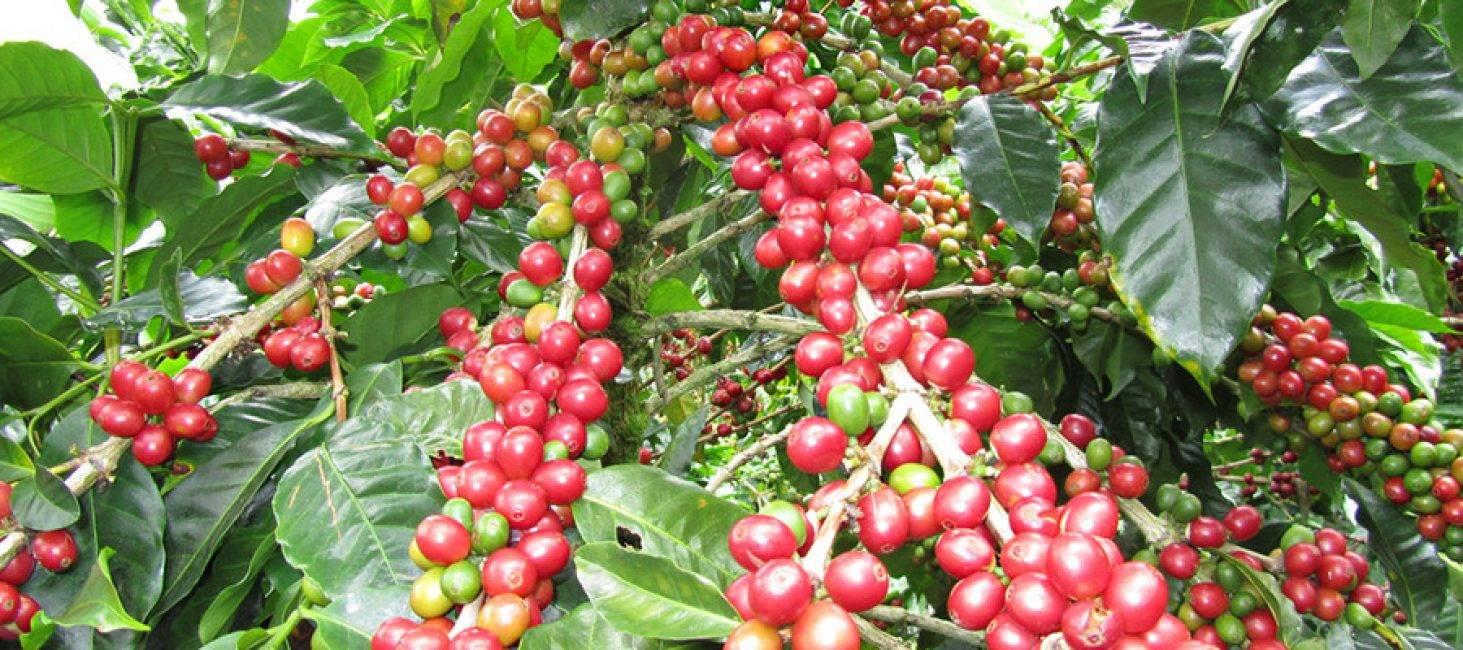 Где выращивают кофе и как он цветет в разных странах
