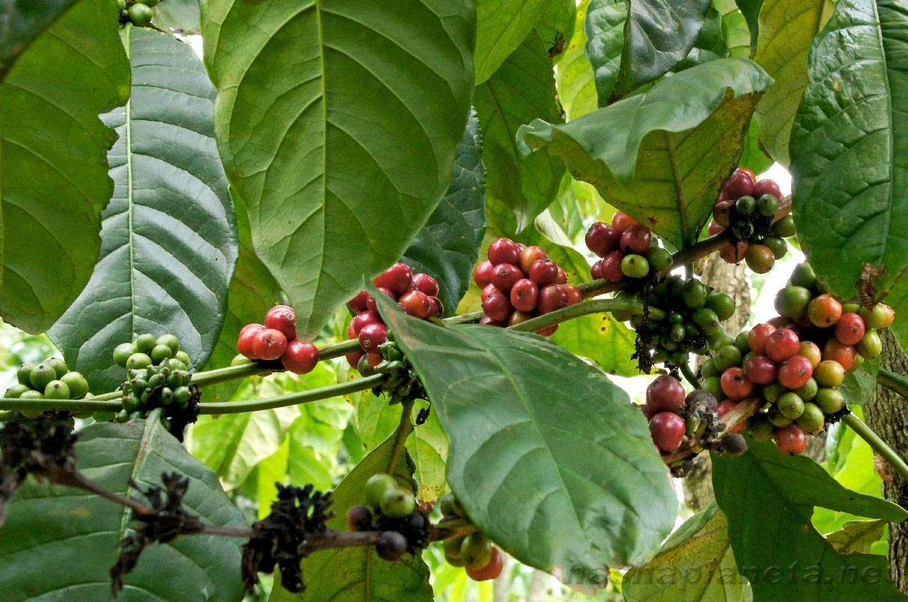 Кофе лювак (копи лювак) во вьетнаме