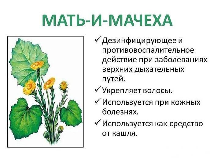 Мать-и-мачеха: настои, листья, отвары и полезные свойства