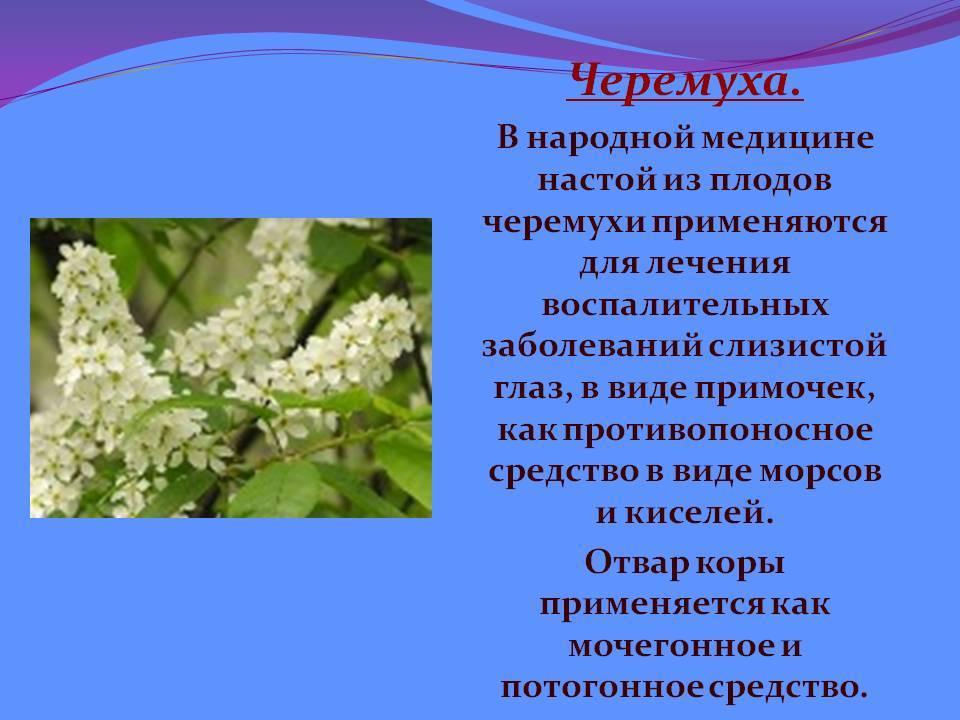 Лечебные свойства черемухи