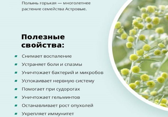 Полынь горькая: лечебные свойства и противопоказания при онкологии