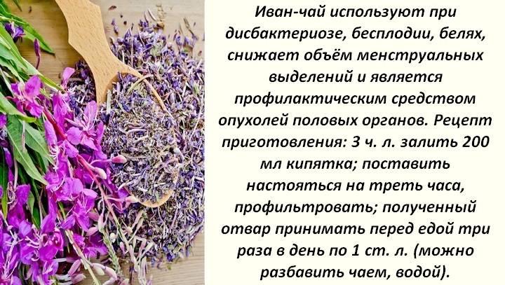 Иван чай (кипрей) – полезные свойства для женщин