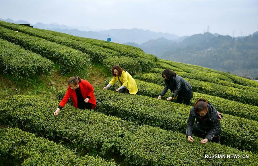 Где и как растет чай: секреты выращивания и приготовления