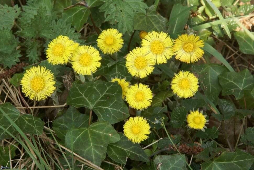 Лечебные свойства и противопоказания травы мать-и-мачехи