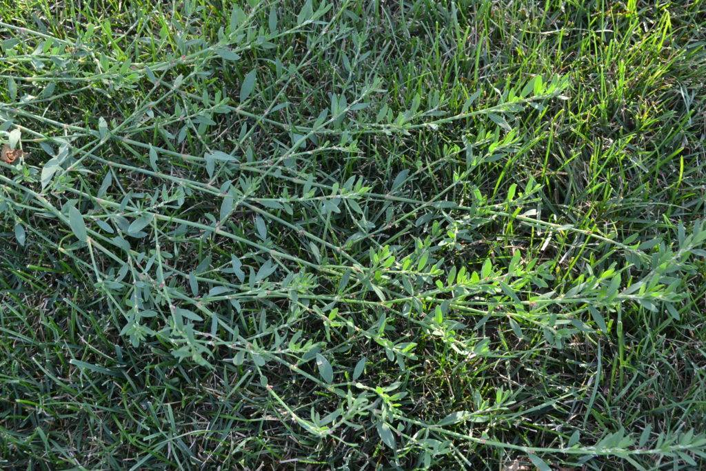 Горец птичий (трава спорыш) – лечебные свойства, применение