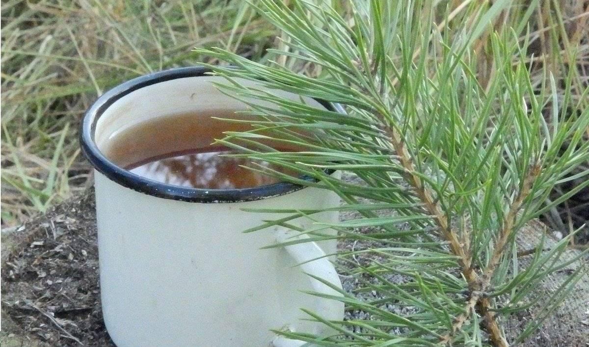 Сосновый чай - полезные свойства и противопоказания