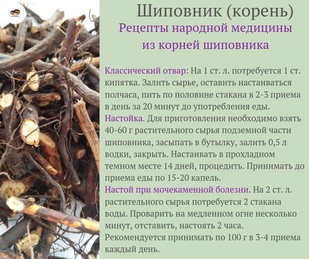 Свойства корня шиповника: полезные рецепты и противопоказания