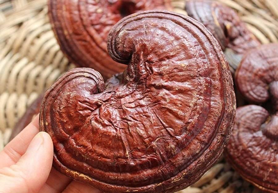 Гриб рейши - лечебные свойства. применение настойки, экстракта или чая гриба рейши для лечения болезней