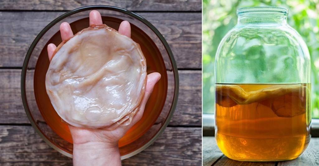 Комбуча: полезные свойства и вред чайного гриба