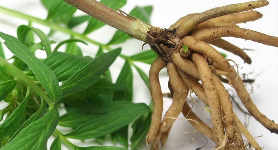 Валериана лекарственная — свойства, особенности выращивания и заготовки