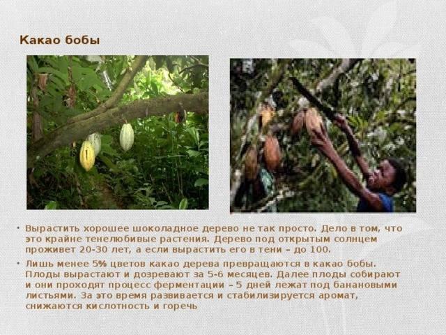 Какао-бобы: панацея с легкой горчинкой