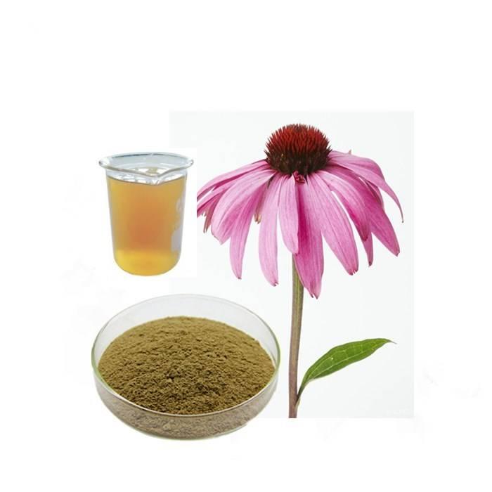 Эхинацея пурпурная — лечебные свойства и противопоказания