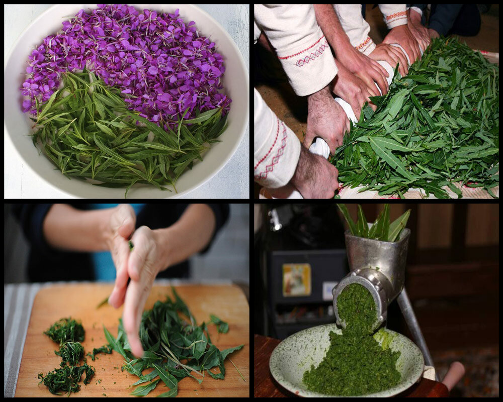 Иван-чай как собирать и сушить и делать чай польза и вред
