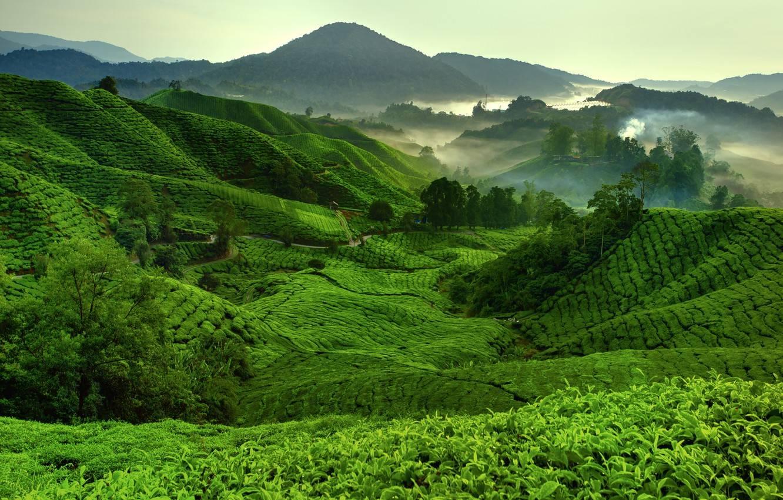 Вьетнамский чай - teaterra   teaterra