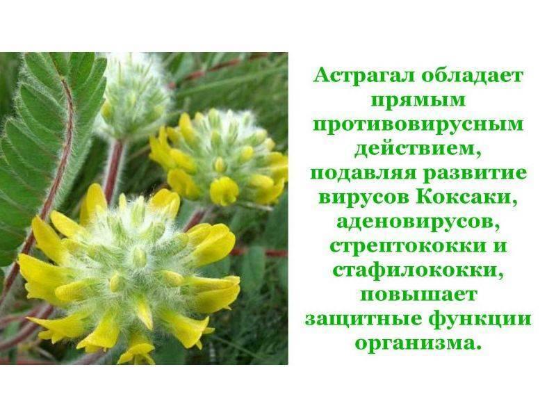 Астрагал: лечебные свойства и противопоказания | пища это лекарство