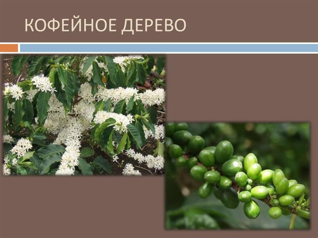 Откуда родом бодрящий напиток или родина современного кофе