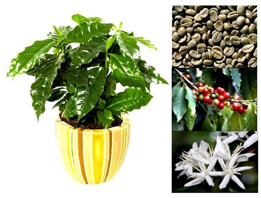 Кофейное дерево: выращивание и уход в домашних условиях
