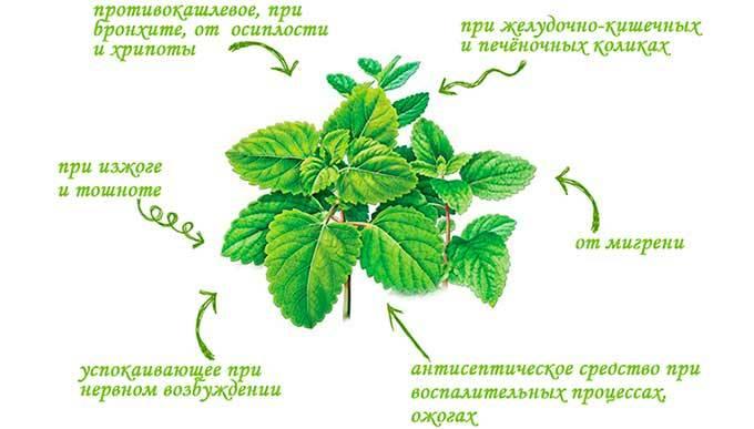 Польза и вред мятного отвара, настойки, чая для женщин, мужчин, детей, беременных. рецепты приготовления мятного чая