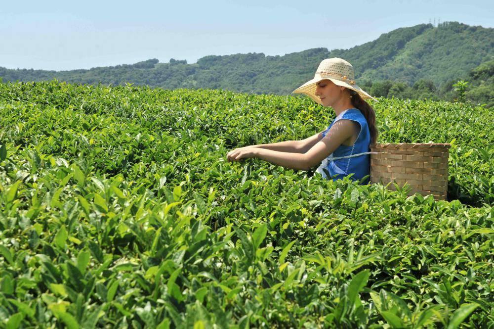 Краснодарский чай — это… что такое краснодарский чай?