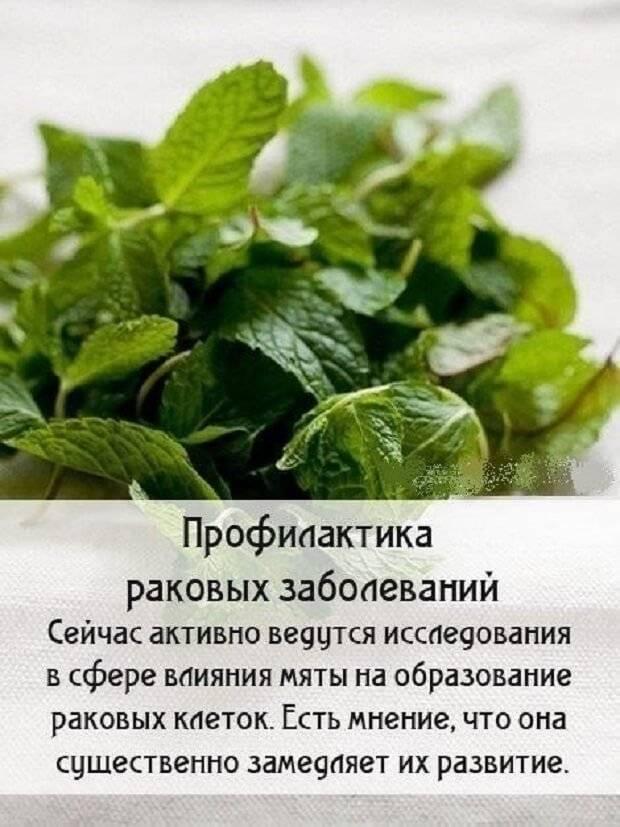 Чай с мятой: польза и вред для женщин и мужчин, рецепты