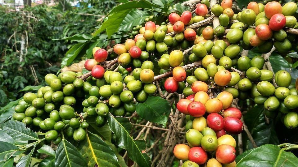 Где выращивают кофе