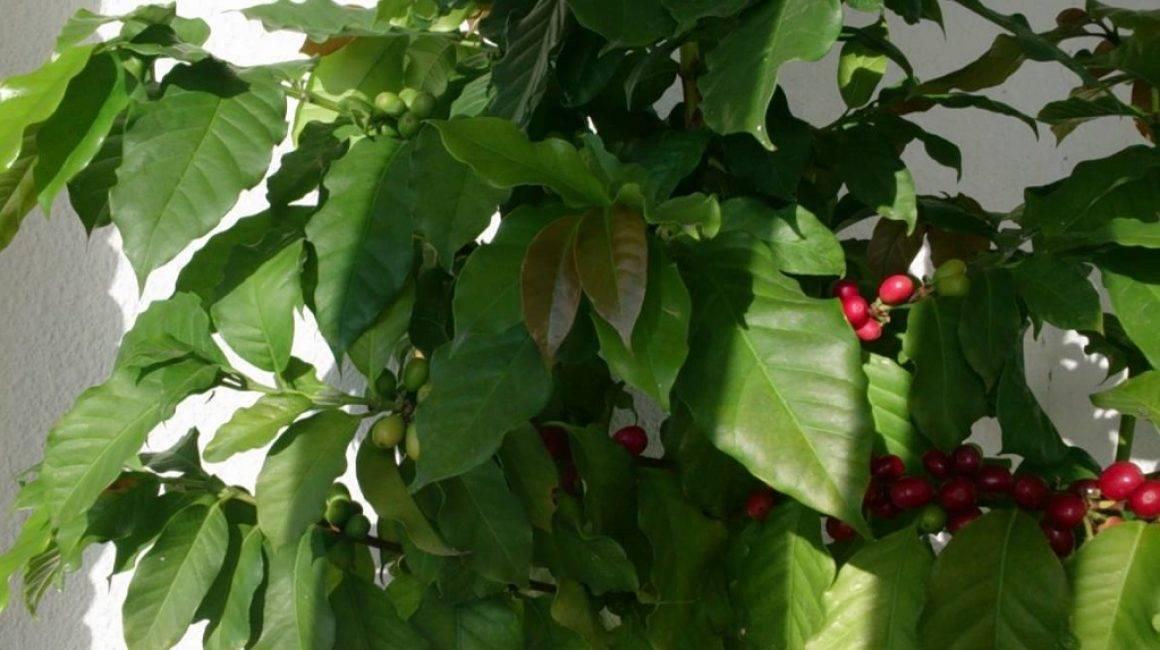 Как вырастить кофейное дерево дома. уход за кофейным деревом в домашних условиях | дачная жизнь