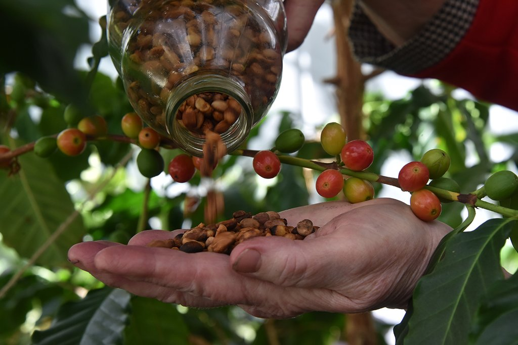 Как вырастить кофе. 9 важных моментов selo.guru — интернет портал о сельском хозяйстве