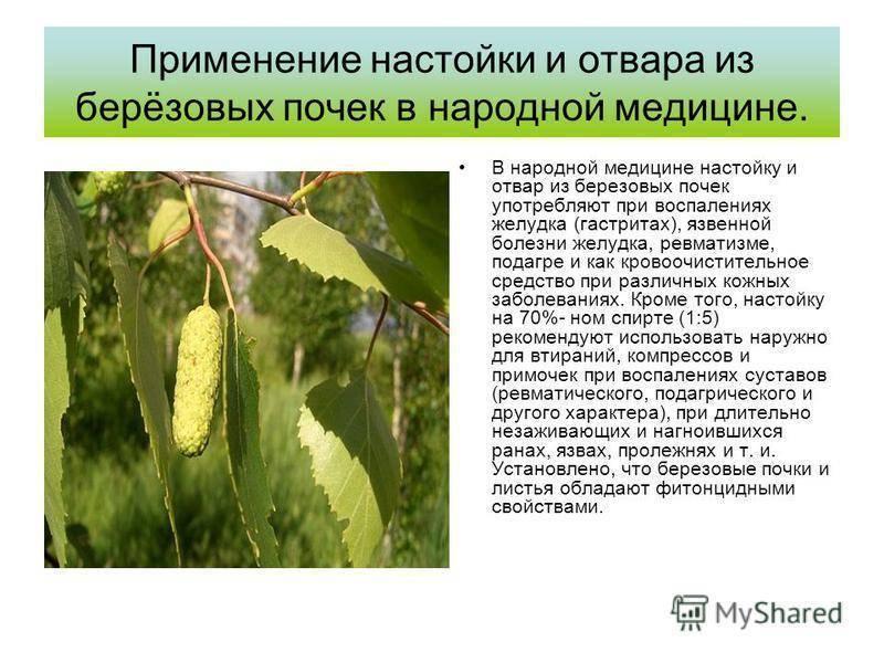 Отвар из березовых листьев: применение и противопоказания - lechilka.com