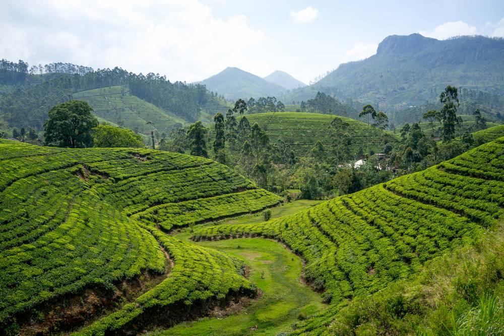 Плесень и пестициды: из каких стран привозят самый опасный чай  // нтв.ru