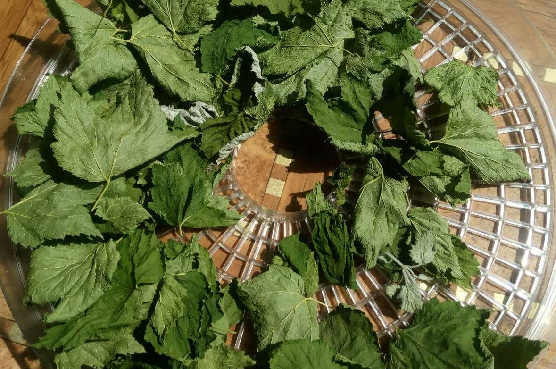 Листья смородины на зиму: сбор и заготовка, профилактика растения от заболеваний