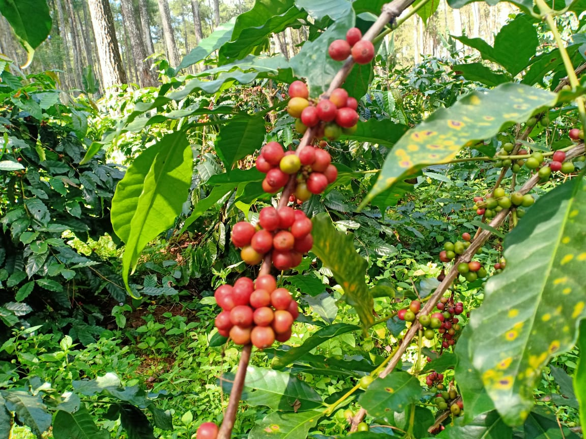 Кофе sl 14, 28, 34: характеристика сортов арабики
