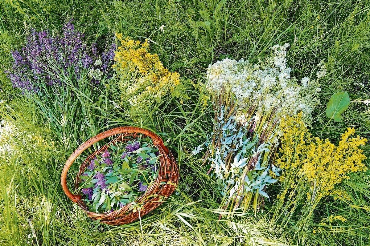 Ароматные травы для чая в своём саду.