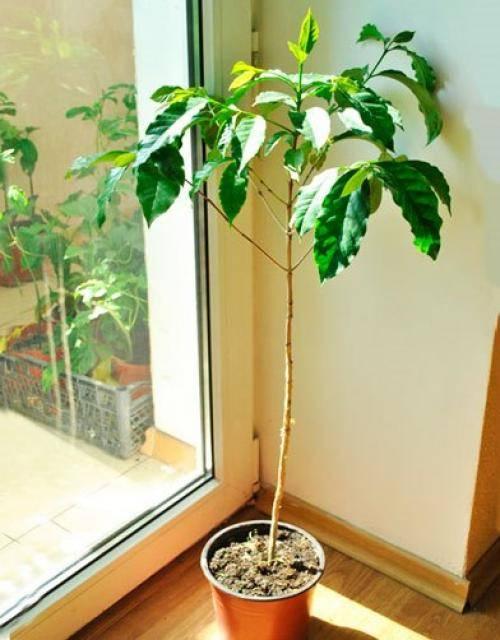 Растение кофейное дерево, уход в домашних условиях, пересадка, виды, удобрения и болезни