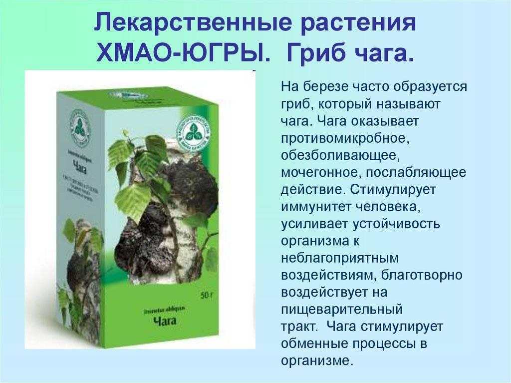Чаговый чай лечебные свойства и противопоказания