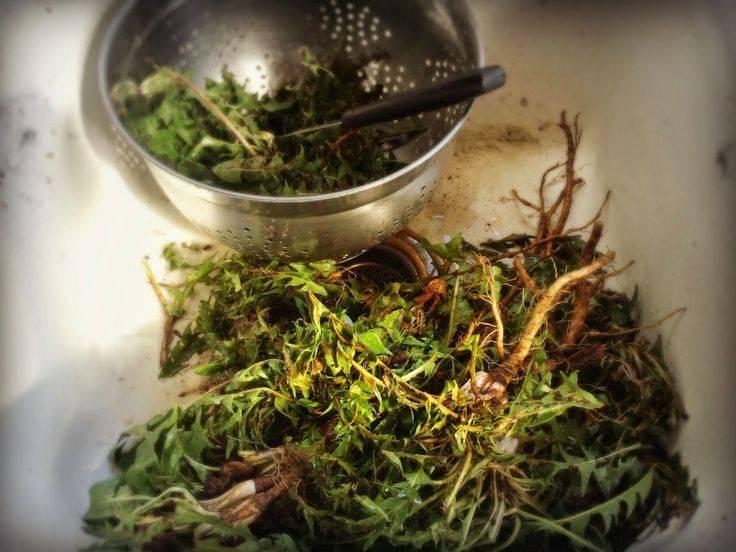 Отвар из корней одуванчика: польза, применение и полезные рецепты