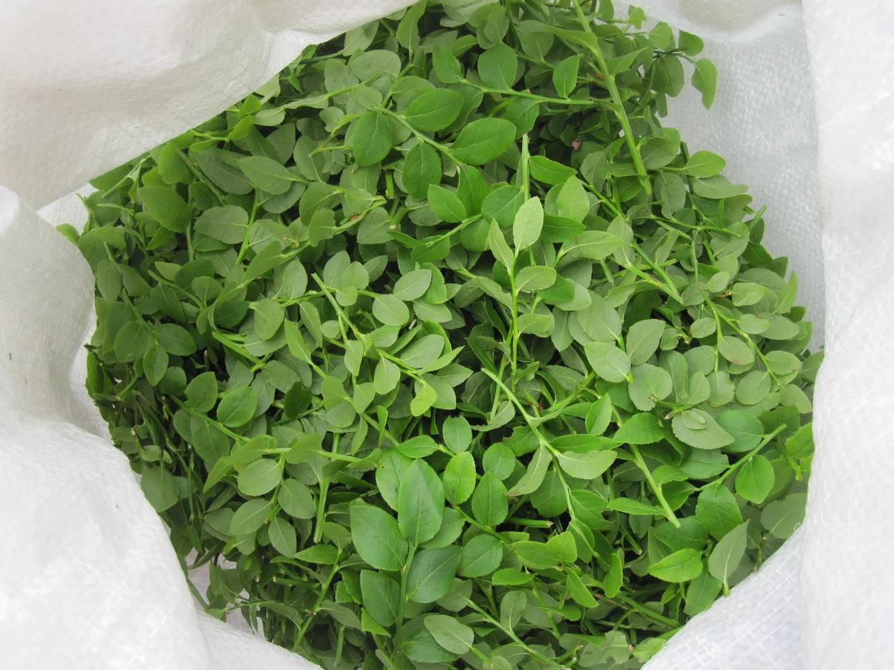 Листья черники — лечебные свойства и противопоказания