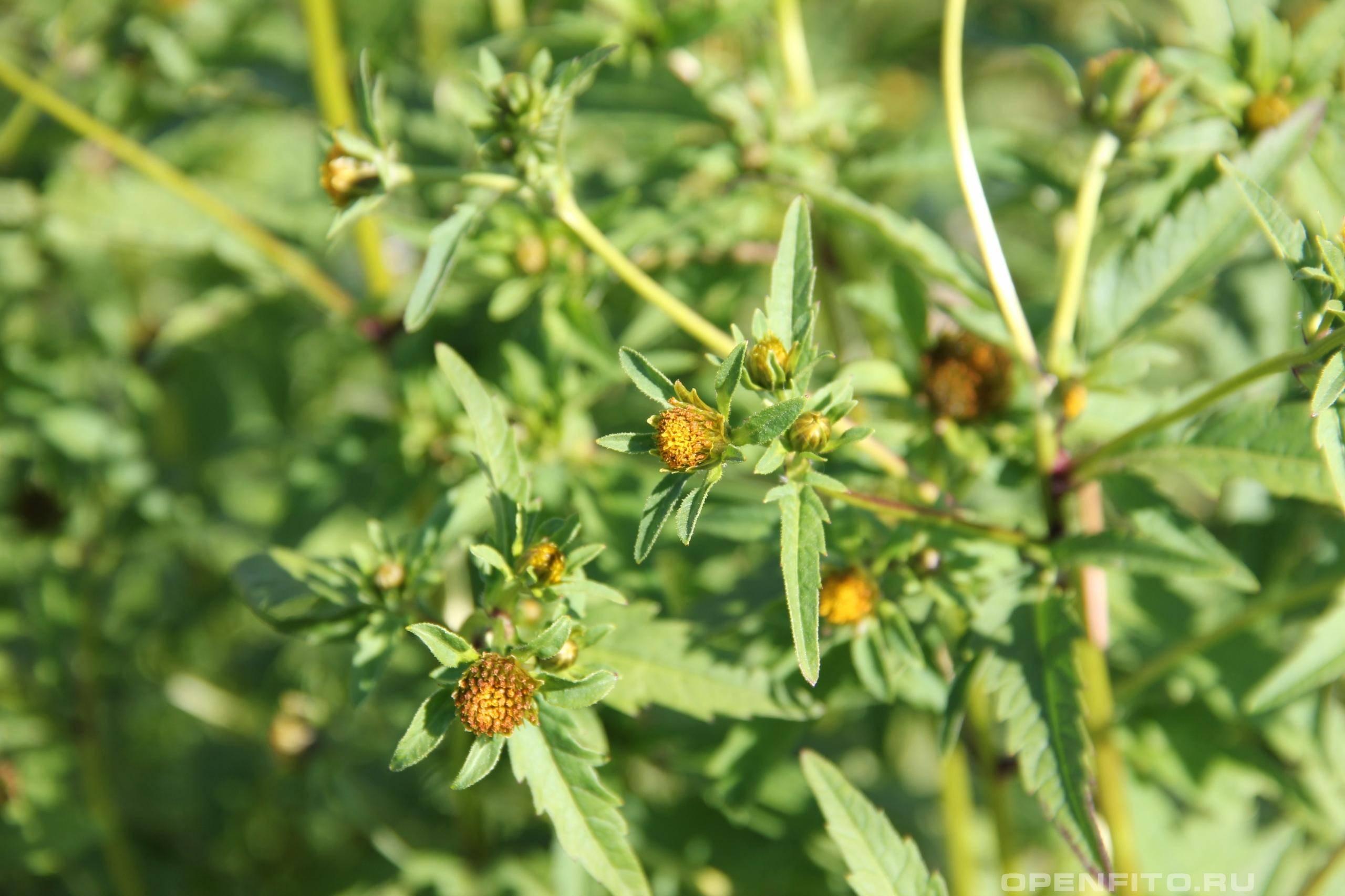 Череда – лечебные свойства  и противопоказания, применение. как выглядит трава череда трехраздельная?