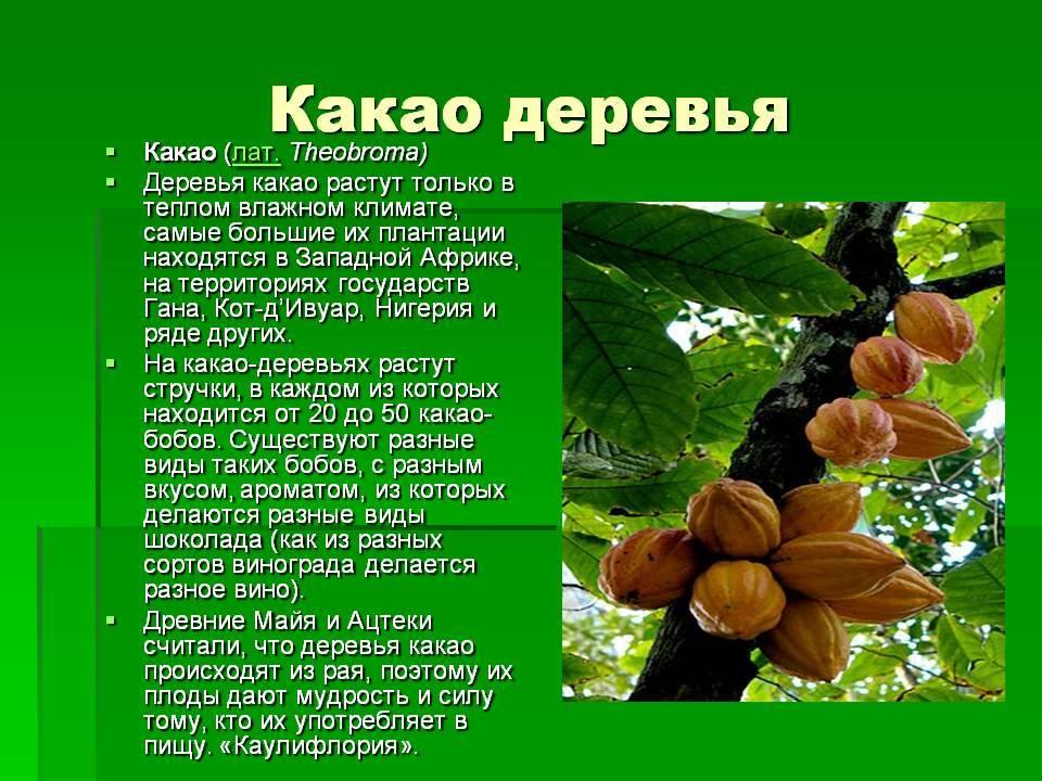 Священный дар богов, или шоколадное дерево