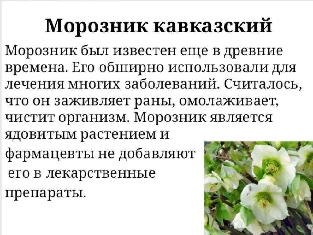 Морозник кавказский в народной медицине