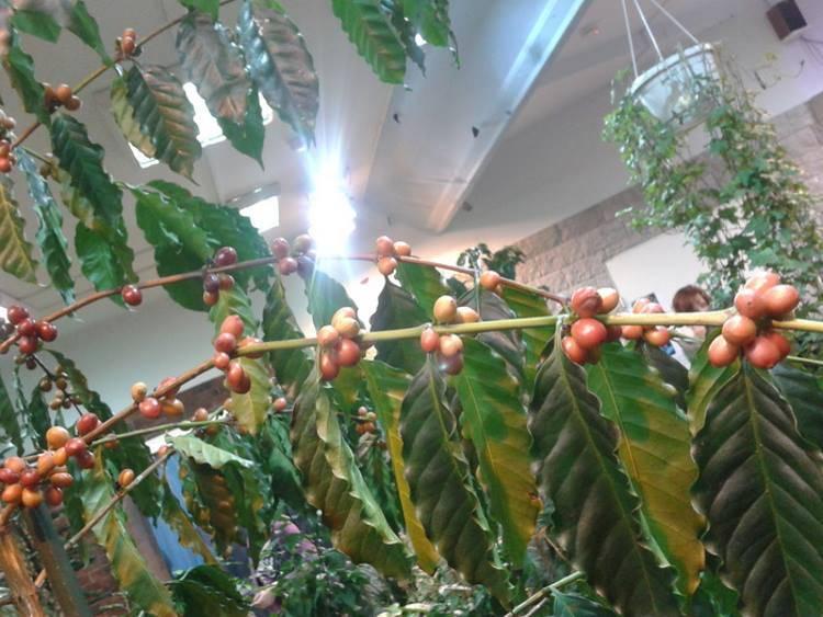 Кофе арабика: уход в домашних условиях, фото внешнего вида, размножение, пересадка и выращивание selo.guru — интернет портал о сельском хозяйстве